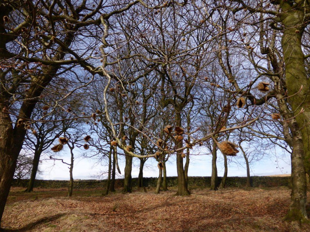 winter beech branches