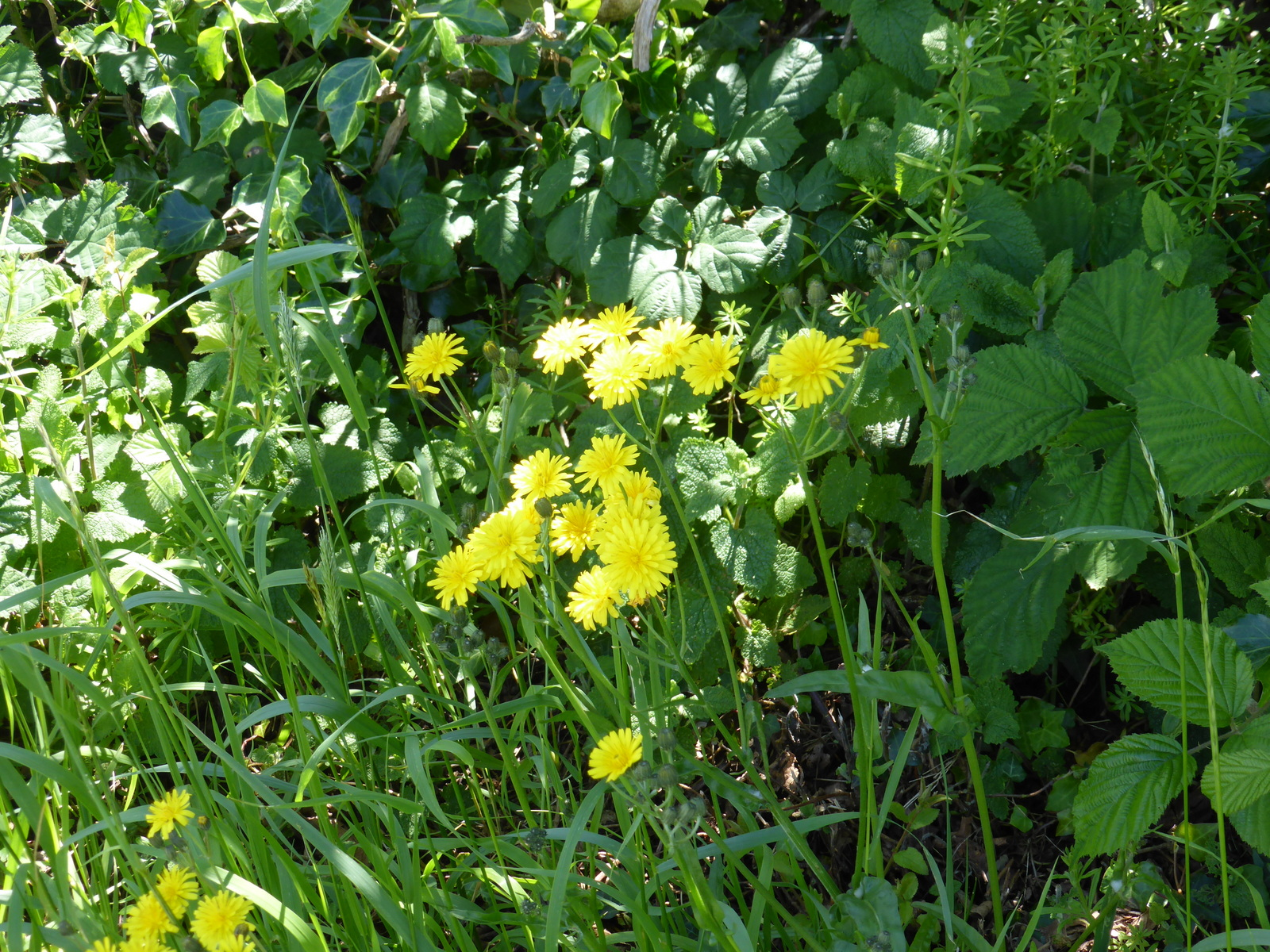 yellow flowers in hedgerow