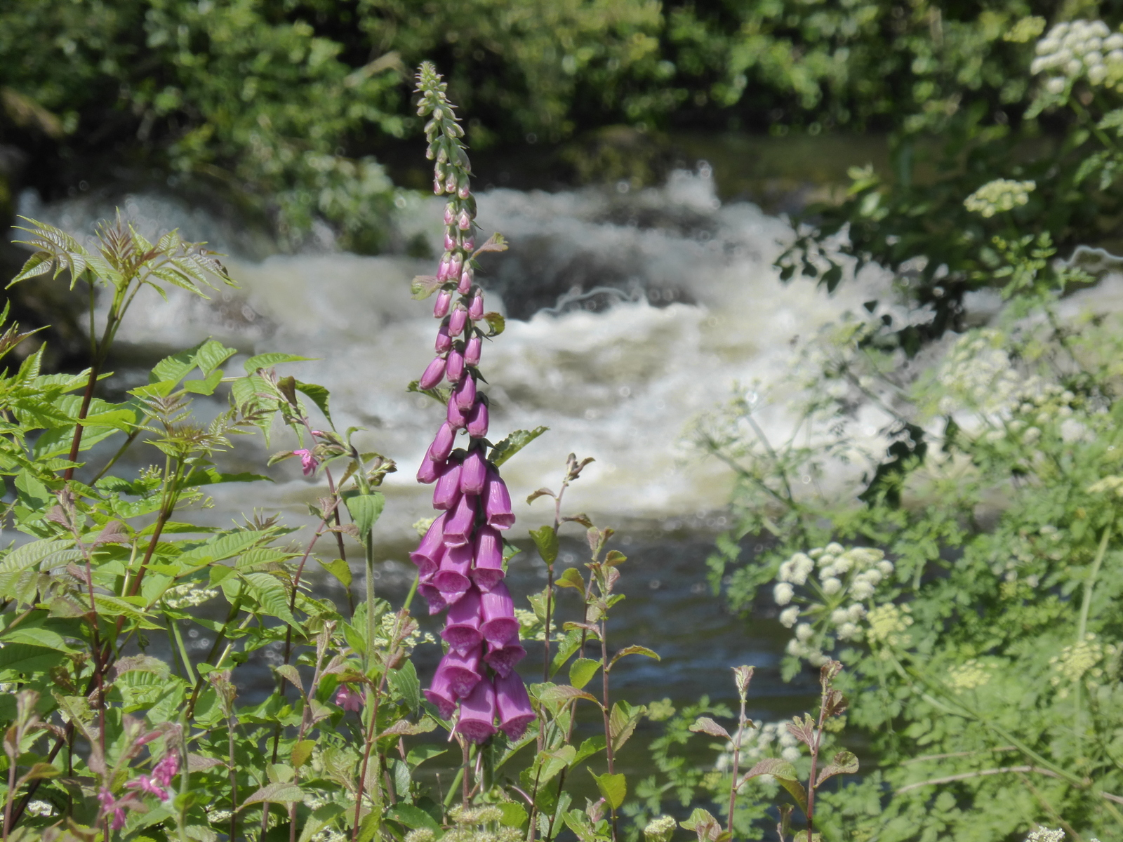 tall pink flower by river
