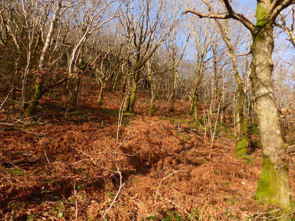 rusty bracken and white birch saplings on hillside