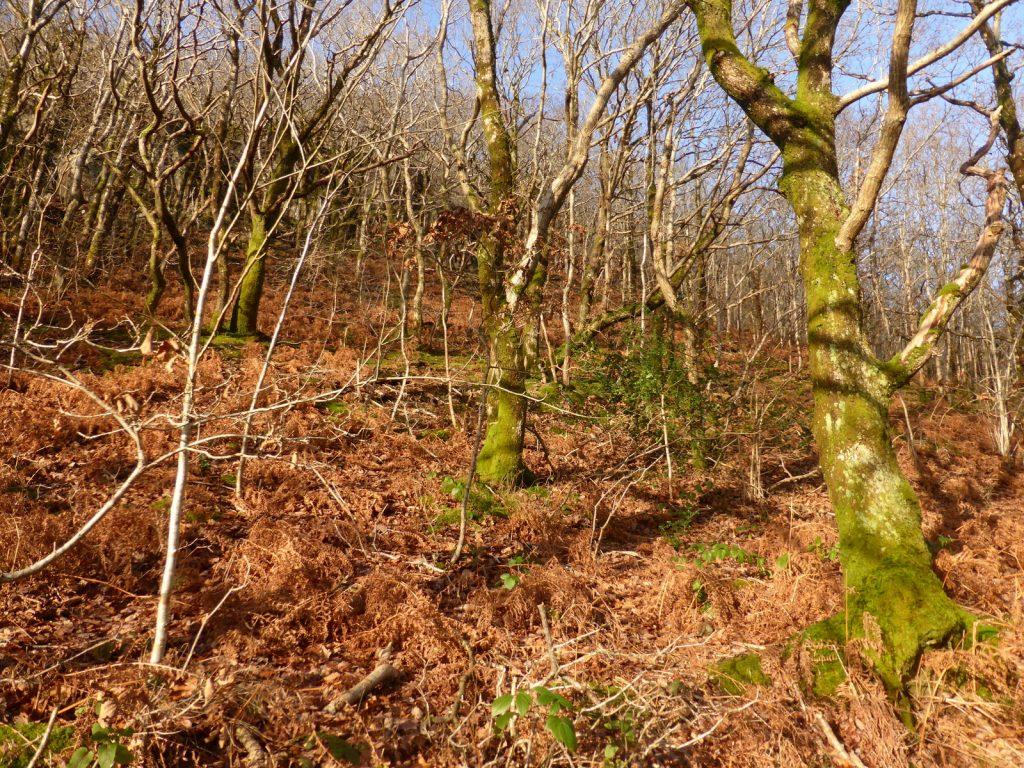 rusty bracken and mossy-trunked saplings on hillside