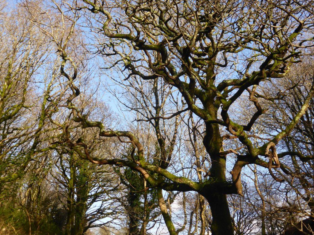 corkscrew branches against a blue sky