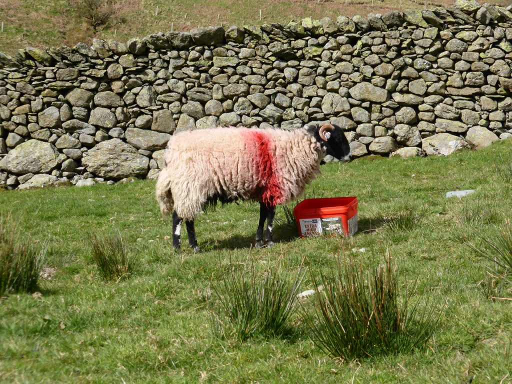 red sheep red bucket - formal pose