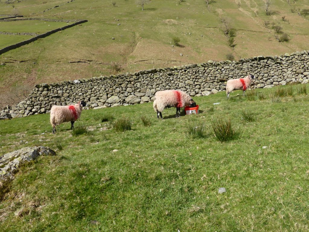 red sheep feeding from red bucket in green field