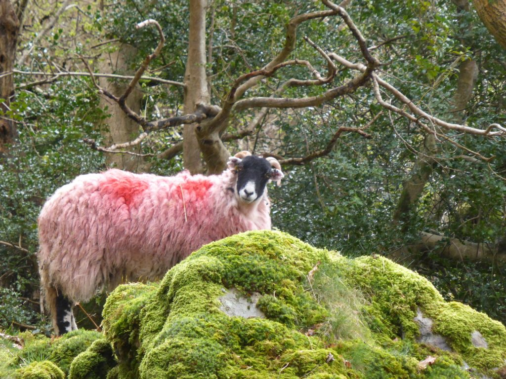 red sheep green moss